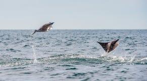 Ακτίνα Mobula που πηδά από το νερό στοκ φωτογραφίες με δικαίωμα ελεύθερης χρήσης