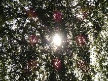 Ακτίνες ήλιων μέσω των φύλλων ενός δέντρου Στοκ Φωτογραφία