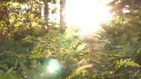 Ακτίνες ήλιων που φωτίζουν ένα άγριο δάσος με τις φτέρες και τα μαγικά μόρια, τη φύση και την πρασινάδα φιλμ μικρού μήκους