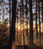 Ακτίνες ήλιων πρωινού μέσω των δέντρων Στοκ Εικόνα