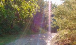 Ακτίνες ήλιων σε ένα δάσος πεύκων, φως του ήλιου στο δάσος στοκ εικόνες με δικαίωμα ελεύθερης χρήσης