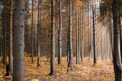Ακτίνες ήλιων στο δάσος φθινοπώρου Στοκ εικόνες με δικαίωμα ελεύθερης χρήσης
