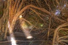Ακτίνες ήλιων στο νεκρό δάσος στοκ εικόνες με δικαίωμα ελεύθερης χρήσης