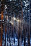 Ακτίνες ήλιων πρωινού στο δάσος με τα παγωμένα δέντρα το χειμώνα Στοκ Φωτογραφία