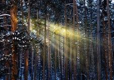 Ακτίνες ήλιων πρωινού στο δάσος με τα παγωμένα δέντρα το χειμώνα Στοκ Φωτογραφίες