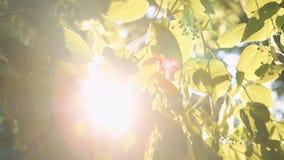 Ακτίνες ήλιων ` s που σπάζουν μέσω των φύλλων του δέντρου απόθεμα βίντεο