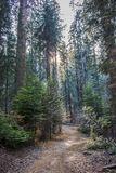 Ακτίνες ηλιοβασιλέματος λυκόφατος μέσω του δασικού ίχνους πτώσης με το πεύκο Dogwood στοκ φωτογραφία με δικαίωμα ελεύθερης χρήσης