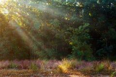 Ακτίνες Θεών - κωνοφόρο δάσος νωρίς το πρωί Στοκ Φωτογραφία