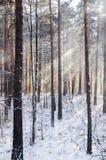 Ακτίνες μέσω της παγωμένης ομίχλης στο ξύλο χειμερινών πεύκων Στοκ Φωτογραφία