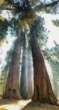 Ακτίνες του φωτός του ήλιου μέσω των τεράστιων κορμών γιγαντιαίο Sequoia Redwood TR στοκ εικόνες