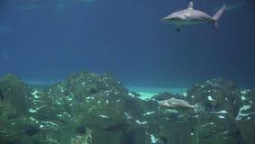 Ακτίνες Manta, Stingrays, Sealife, υποβρύχιο, καρχαρίες απόθεμα βίντεο