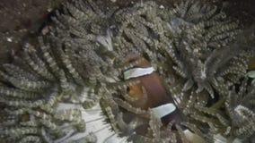 Ακτίνιο Anemone και clownfish στα μεγάλα θαλάσσια βάθη σε αναζήτηση των τροφίμων στις Φιλιππίνες φιλμ μικρού μήκους