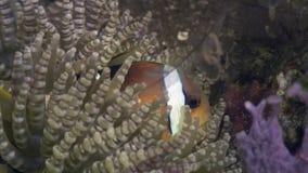 Ακτίνιο Anemone και clownfish υποβρύχιος στα μεγάλα θαλάσσια βάθη στις Φιλιππίνες φιλμ μικρού μήκους