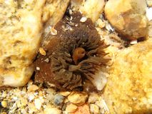 Ακτηνία anemone θάλασσας ζωντανό Στοκ Εικόνα