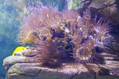 Ακτηνία (anemone θάλασσας) Στοκ Φωτογραφίες