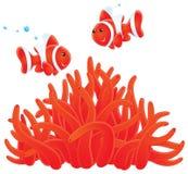 ακτηνία anemonefishes ελεύθερη απεικόνιση δικαιώματος