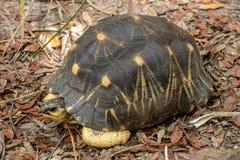 Ακτινοβολούν Tortoise Στοκ φωτογραφίες με δικαίωμα ελεύθερης χρήσης