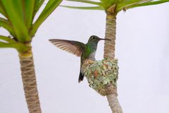 Ακτινοβολώ-διογκωμένο θηλυκό σμαραγδένιο κολίβριο, Chlorostilbon Lucidus, που πετά πίσω στη φωλιά της, Βραζιλία στοκ φωτογραφία με δικαίωμα ελεύθερης χρήσης