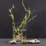 Ακόμα η σύνθεση ζωής με την ιτιά διακλαδίζεται με τα μικρά φύλλα και τις ρόδινες ρίζες στα κοχύλια διαφανών βάζων και σαλιγκαριών Στοκ Εικόνα