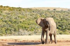 Ακόμα κανένα νερό - αφρικανικός ελέφαντας του Μπους Στοκ εικόνες με δικαίωμα ελεύθερης χρήσης