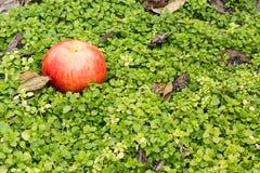 Ακόμα μήλο ζωής σε ένα υπόβαθρο της πράσινης χλόης Στοκ Φωτογραφίες