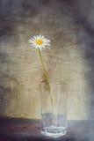 Ακόμα όμορφο λουλούδι μαργαριτών ζωής Στοκ εικόνα με δικαίωμα ελεύθερης χρήσης