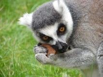 ακόρεστος πίθηκος στοκ φωτογραφία