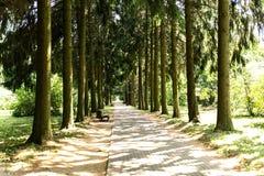 Αλέα πεύκων στο πάρκο Στοκ Φωτογραφία