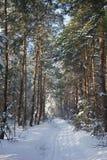 Αλέα πεύκων στο χειμερινό δάσος χιονιού Στοκ Φωτογραφία