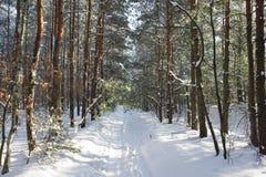 Αλέα πεύκων στο χειμερινό δάσος Στοκ Εικόνες