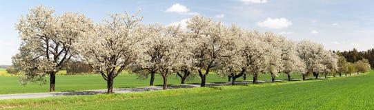 Αλέα του άσπρου ανθίσματος δέντρων κερασιών στοκ εικόνα