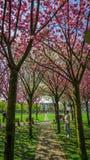 Αλέα Sakura, Άμστερνταμ στοκ φωτογραφία