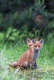 Αλεπούδες στο δάσος Στοκ Εικόνες
