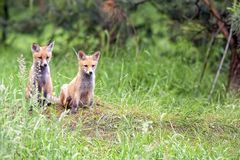 Αλεπούδες στο δάσος Στοκ Φωτογραφία