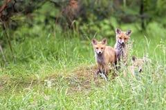 Αλεπούδες στο δάσος στοκ εικόνα