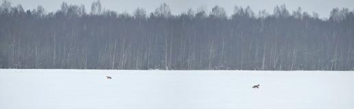 αλεπούδες Στοκ Εικόνα