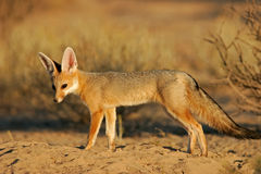 αλεπού ακρωτηρίων Στοκ Φωτογραφία