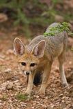 αλεπού ακρωτηρίων στοκ φωτογραφίες