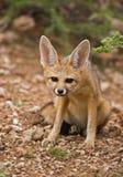 αλεπού ακρωτηρίων στοκ εικόνα