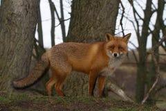 Αλεπού πορτρέτου πολύ στενή στοκ εικόνα