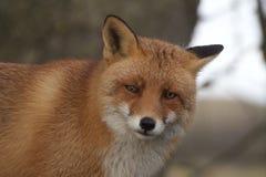 Αλεπού πορτρέτου στοκ εικόνες