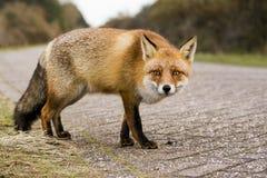 Αλεπού σε έναν δρόμο, περίεργο Στοκ φωτογραφίες με δικαίωμα ελεύθερης χρήσης