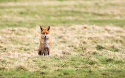 Αλεπού σε έναν τομέα στοκ φωτογραφία με δικαίωμα ελεύθερης χρήσης