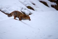 Αλεπού τρεξίματος Στοκ φωτογραφία με δικαίωμα ελεύθερης χρήσης
