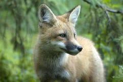 αλεπού 2 Στοκ φωτογραφία με δικαίωμα ελεύθερης χρήσης