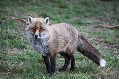 Αλεπού Στοκ Εικόνα