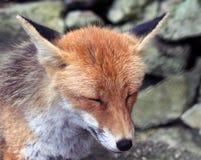 αλεπού 3 Στοκ Φωτογραφίες