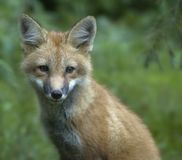 αλεπού 3 Στοκ φωτογραφίες με δικαίωμα ελεύθερης χρήσης