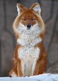 αλεπού Στοκ φωτογραφία με δικαίωμα ελεύθερης χρήσης