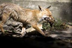 Αλεπού στοκ εικόνες